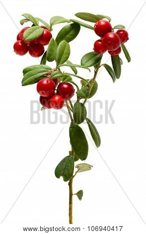 Branch Cranberries Isolated On White Background.