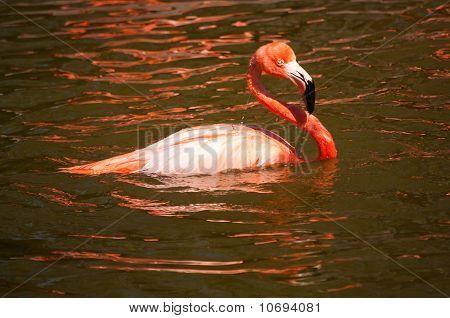 Swimming Flamingo
