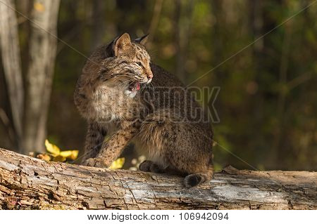 Bobcat (lynx Rufus) Sits Atop Log Looking Right