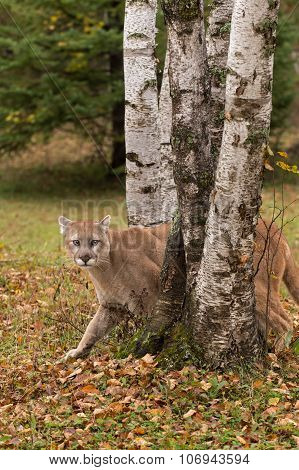 Adult Male Cougar (puma Concolor) Creeps Between Birch Trees