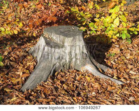 stump in autumn