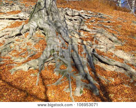 big roots in autumn