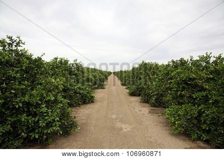 Citrus Grove. Oranges, Lemons, Limes, and other Citrus grow in rows in a Citrus Grove in Central California. Bakersfield California is known for growing food for people around the world.