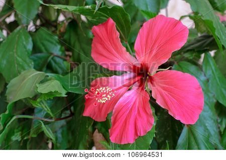 Hibiscus Flower on a green leaves background.