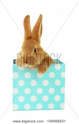 Young Red Rabbit In Gift Box  Isolated On White