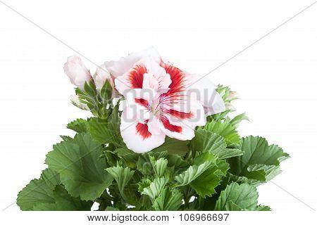 Flowers Of A Two-color Geranium Close Up