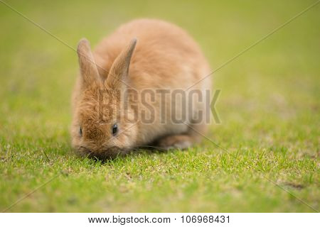 Wild Bunny Feeds On Local Grasses Cute Rabbit