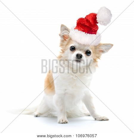 Chihuahua dog with Santa hat on white