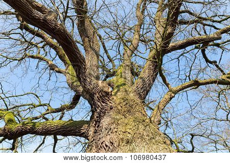 Bare Leafless Oak Tree Bottom View With Blue Sky In Winter
