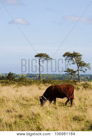 Cow on a heath