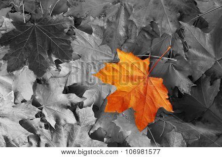 Orange maple leaf amongst black and white autumn leaves
