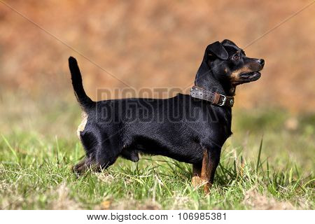 cute small pinscher dog on meadow outside