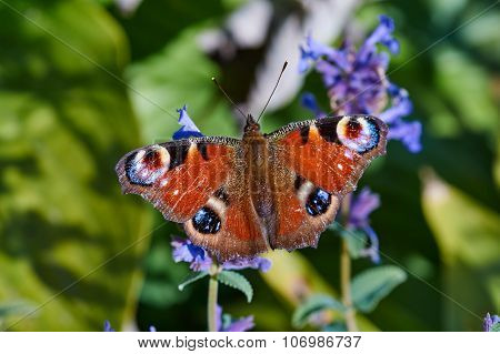 Aglais io butterfly sitting on a flower