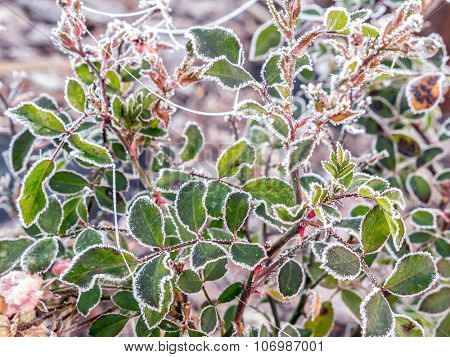 Closeup of rose shrub leaves covered with morning frost