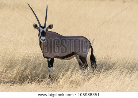Oryx Portrait