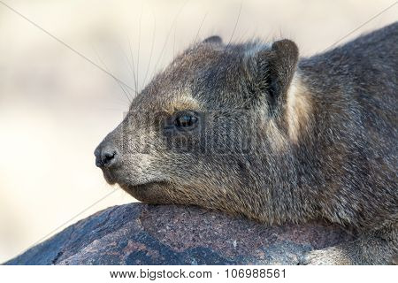 Cliff Hyrax On The Rocks