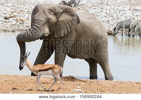 Elephant At Waterhole