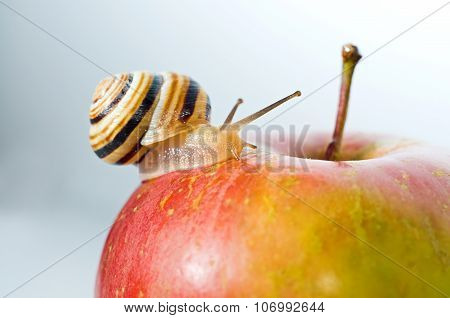 Small Snail On A Red Apple