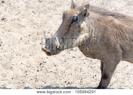 Warthog Half Body Portrait