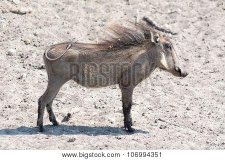 Young Warthog Full Portrait