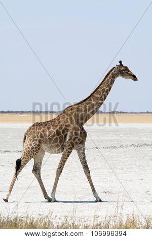 Giraffe Walking A Salt Pan.