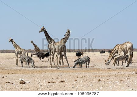 Groupt Of Giraffes And Other Animals At Waterhole.