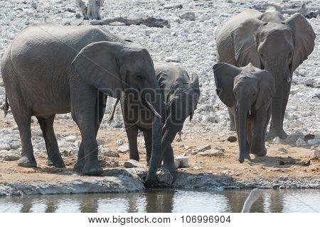 Elephant Family At Waterhole.