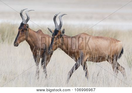 Two Red Hardebeest In Grassland.