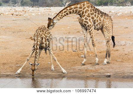 Giraffe Cow And Bull At Waterhole