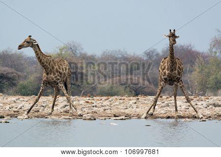 Two Giraffes Preparing Drinking