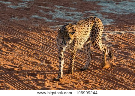 Hungry Cheetah.