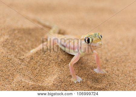 Desert Gecko.