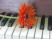 Orange Gerbera (Barbeton Daisy) On A Piano Keyboard