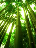 picture of bamboo forest  - asia bamboo tree  - JPG