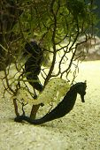 picture of under sea  - 2 sea horses hiding behind under water plants - JPG