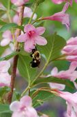 stock photo of gleaning  - honey bee collecting honey from flowers in the garden - JPG