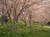stock photo of cherry-blossom  - cherry blossom trees at their very best linning the meander river