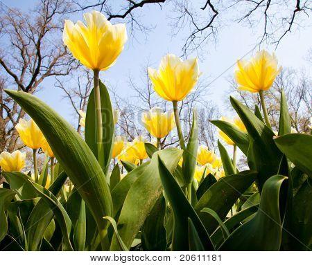 Tulpen - Jaap Groot-Sorten