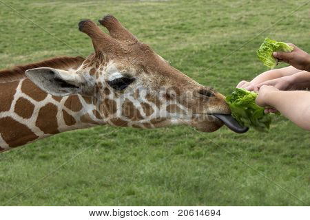 Young hands feed a hungry giraffe