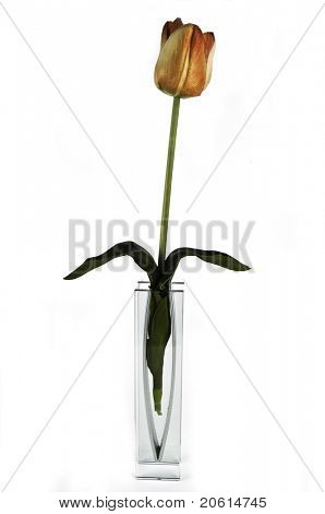 Tulip on white background