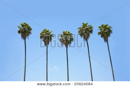 Row Of Palm Trees