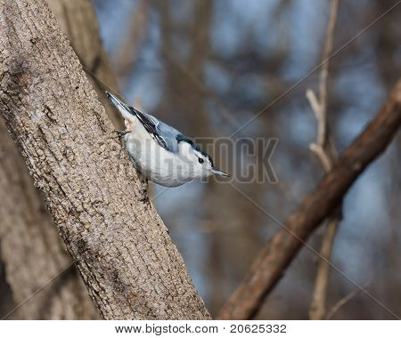 White Breasted Nuthatch Perched On A Tree Branch