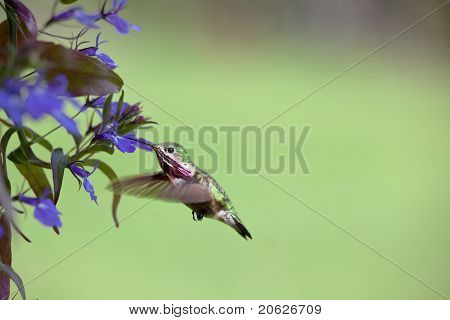 Humming Bird With Flowers