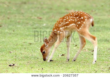 Sika Deer Fawn