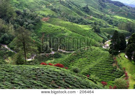 Tea Plantation Field