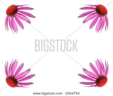 Echinacea Background