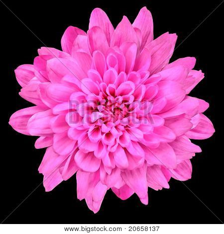 Pink Chrysanthemum Flower Isolated Over Black