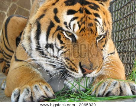 Tiger Eating The Grass