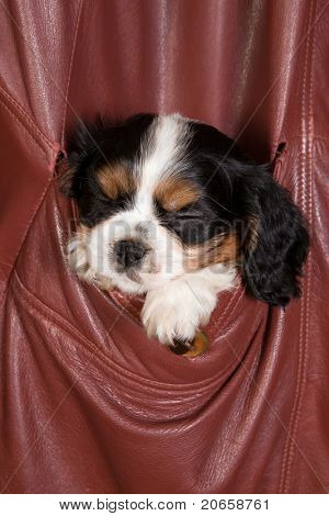 Sleepy 6 weeks old cavalier king charles puppy dog