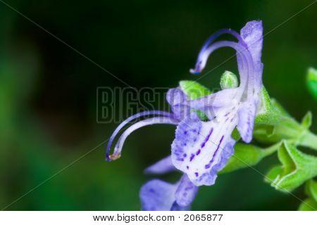 Lavader Flower